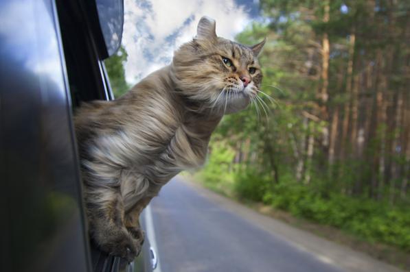 Viaggiare con il gatto in macchina: come trasportarlo in auto in estate?